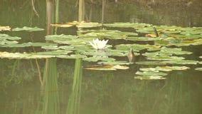 Grönt vatten i sjön Grumligt vatten På sidorna sitt grodor härlig vit lilja på en sommarsjö stock video