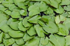 Grönt vatten Lilly eller Lotus Leaves Arkivfoto