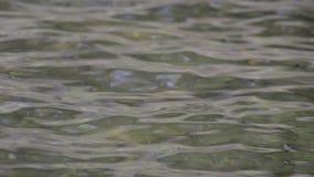 Grönt vattensorl på yttersidan av en sjö arkivfilmer