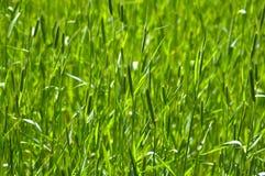 grönt vete Fotografering för Bildbyråer
