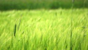 grönt vete Arkivfoto