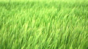 grönt vete Royaltyfria Bilder