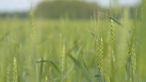 grönt vete för öron stock video