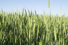 grönt vete för öron Arkivfoto