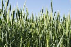 grönt vete för öron Arkivfoton