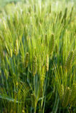 grönt vete för fält Royaltyfri Fotografi