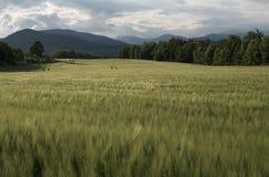 grönt vete för fält Arkivbilder