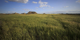 grönt vete för fält Royaltyfria Foton
