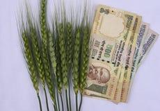 Grönt vete gå i ax med indiska pengar av värde 500 och 100 på den vita bakgrunden Royaltyfria Foton