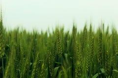 Grönt vete i lantgård i klar himmel arkivfoton