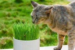 Grönt vete på den vita krukan och en katt som äter ett vete royaltyfri foto