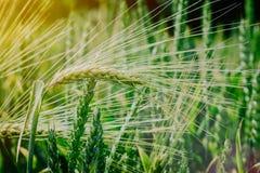 Grönt vete som sparas i aftonsolljus fotografering för bildbyråer