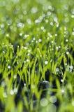 Grönt vete som växer med dagg arkivfoton