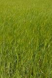 Grönt vetefält Royaltyfri Bild