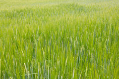 Grönt vetefält Arkivfoto