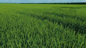 Grönt vetefält 2 lager videofilmer