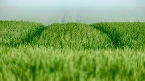 Grönt vetefält 2 Arkivbild