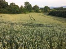Grönt vetefält för sommar med träd och blå himmel Royaltyfria Bilder