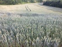 Grönt vetefält för sommar med träd och blå himmel Arkivbild