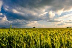 Grönt vetefält i varmt solsken under dramatisk himmel, nya vibrerande färger Fotografering för Bildbyråer