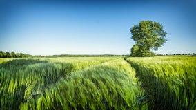 Grönt vetefält med trädet och blå himmel på en trevlig sommardag Royaltyfria Foton