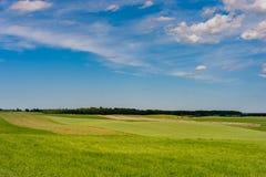 Grönt vetefält och blå himmel med kor och tjurar i Bakcground royaltyfri bild