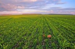 Grönt vetefält och himmel i färgerna av solnedgången fotografering för bildbyråer