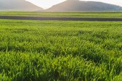 Grönt vetegräsfält Royaltyfria Bilder