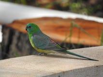 Grönt vila för papegoja royaltyfri bild