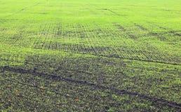 Grönt vintervete på fält med svart jord i panelljus Fotografering för Bildbyråer