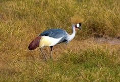 Grúa, Amboseli Kenia Fotografía de archivo