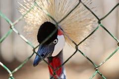 Grúa coronada africana Foto de archivo