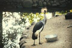 Grúa coronada en el parque zoológico fotografía de archivo