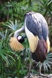 Grúa coronada gris Foto de archivo libre de regalías