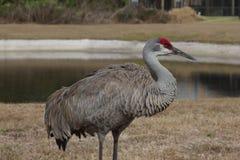Grúa de la colina de la arena en la Florida Foto de archivo