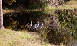 Grúa de la Florida Sandhill Foto de archivo