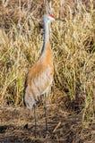 Grúa de Sandhill camuflada adentro con las hierbas marrones - primavera temprana admitida en el área de la fauna de los prados de fotos de archivo
