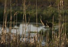Grúa de Sandhill en pantano Foto de archivo libre de regalías