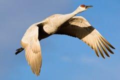 Grúa de Sandhill en vuelo Foto de archivo libre de regalías