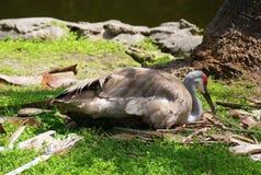 Grúa de Sandhill que se sienta en los huevos por el lago en la Florida Fotografía de archivo libre de regalías