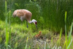 Grúa de Sandhill y polluelo del bebé Imagen de archivo