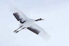 Grúa en mosca El pájaro blanco que volaba Rojo-coronó la grúa, japonensis del Grus, con el ala abierta, con la tormenta de la nie fotografía de archivo libre de regalías