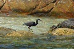 Grúa negra contra rocas costeras Fotografía de archivo