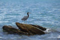 Grúa negra en rocas costeras Imagenes de archivo