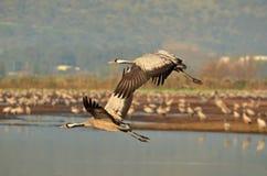 Grúas de la migración sobre el lago Hula Fotografía de archivo