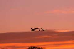 Grúas de Sandhill del vuelo en la salida del sol Imagen de archivo libre de regalías