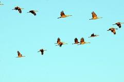 Grúas de Sandhill en cielo Fotos de archivo libres de regalías