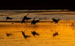 Grúas de Sandhill en la puesta del sol Foto de archivo libre de regalías