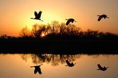 Grúas de Sandhill en la puesta del sol Imágenes de archivo libres de regalías
