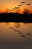 Grúas de Sandhill en la puesta del sol Fotos de archivo libres de regalías